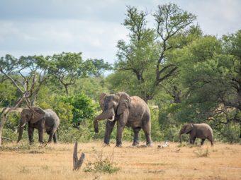 Africa. Plantații forestiere și elefanți.